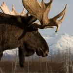 Blue Moose's Avatar