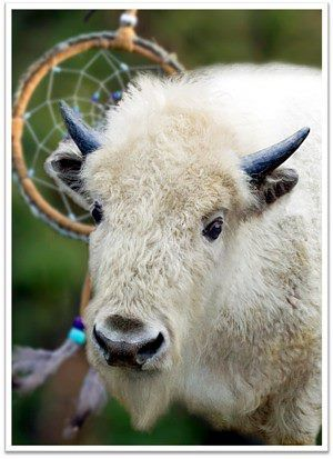 white_buffalo_calf_with_dreamcatcher.jpg